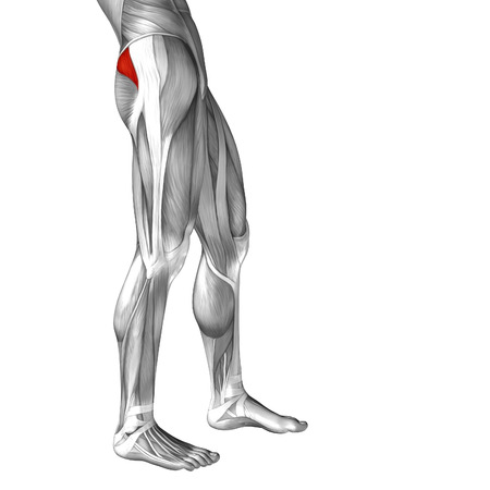 soleus: Conceptual 3D human front upper leg muscle anatomy isolated on white background