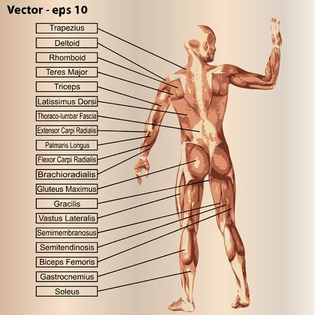 gastrocnemius: 3D human male anatomy with muscles and text on beige background