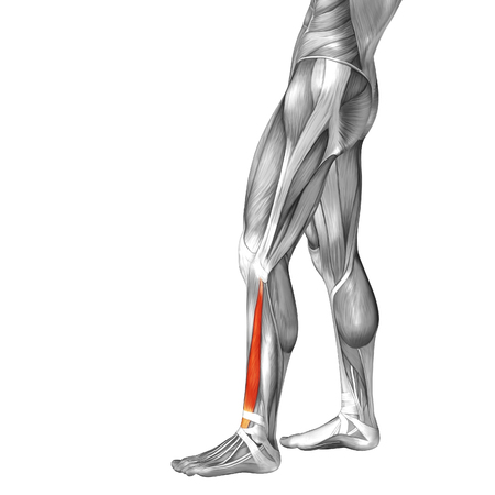 leg muscle: Conceptual 3D human front lower leg muscle anatomy isolated on white background