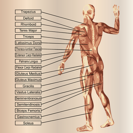 dorsi: 3D human male anatomy with muscles and text on beige background