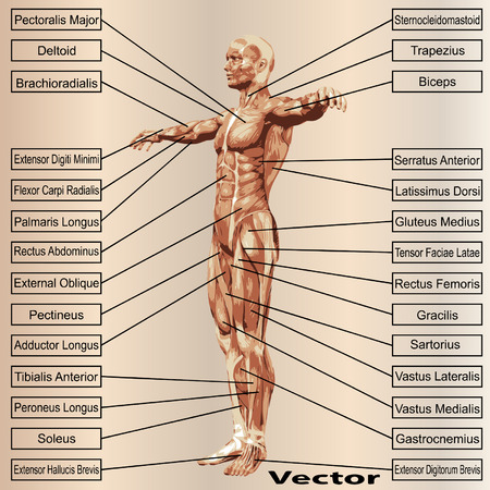 3D human male anatomy with muscles and text on beige background