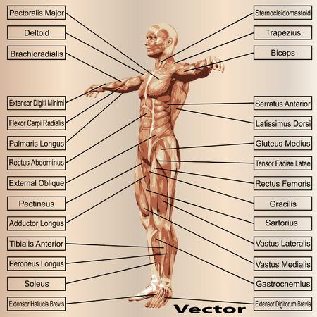 3 D の人間男性の解剖学の筋肉とベージュ色の背景上のテキスト