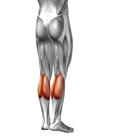 gastrocnemius: Conceptual 3D human front lower leg muscle anatomy isolated on white background