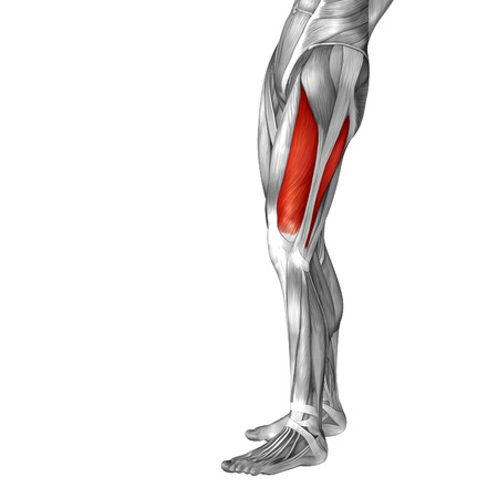 rectus: Conceptual 3D human front upper leg muscle anatomy isolated on white background