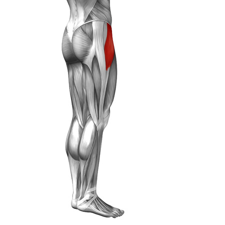 achilles tendon: Conceptual 3D human front upper leg muscle anatomy isolated on white background