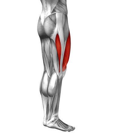 tensor: Conceptual 3D human front upper leg muscle anatomy isolated on white background