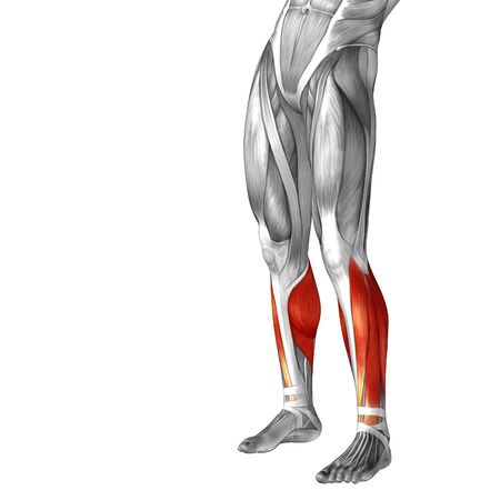 rectus: Conceptual 3D human front lower leg muscle anatomy isolated on white background