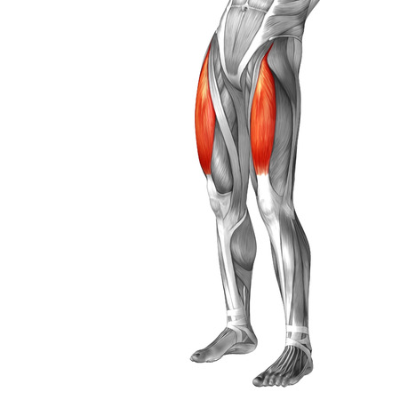 didactic: Conceptual 3D human front upper leg muscle anatomy isolated on white  Stock Photo