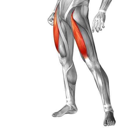 upper leg: Conceptual 3D human front upper leg muscle anatomy isolated on white Stock Photo