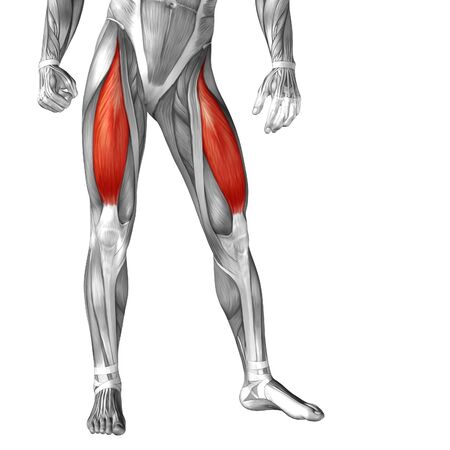 upper leg: Conceptual 3D human front upper leg muscle anatomy isolated on white background