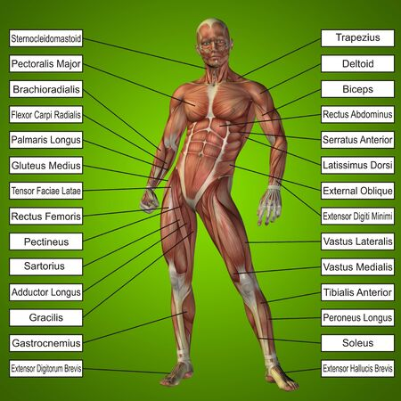 deltoid: 3D human male anatomy with muscles and text on blue background