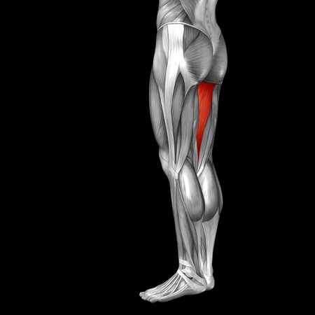 didactic: Conceptual 3D human front upper leg muscle anatomy isolated on black background