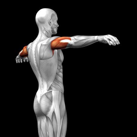 Conceptual 3D Trizeps Anatomie Muskel Isoliert Auf Weißem ...
