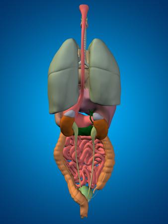 abdominal organs: 3D human or man internal abdominal or thorax organs for anatomy or health designs on blue background