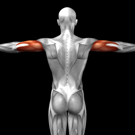 anatomy nude: Conceptual 3D back anatomy muscle isolated on black background