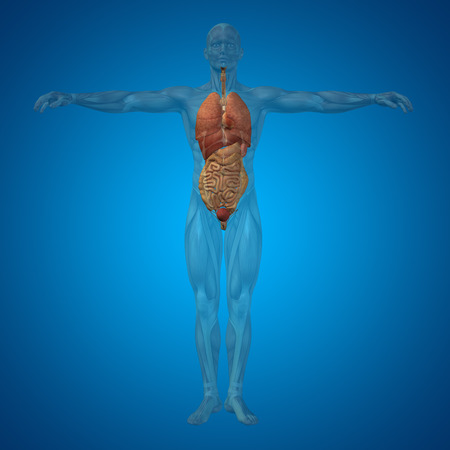 lung transplant: Conceptual 3D man with internal organs, digestive, lungs and circulatory system on blue background Stock Photo