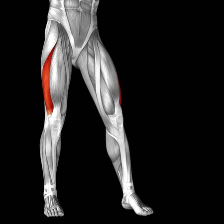 tensor: Conceptual 3D human front upper leg muscle anatomy isolated on black background