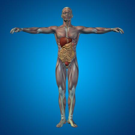 解剖学的概念の人間または青の背景に男性 3 D 消化器系 写真素材