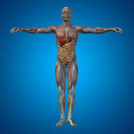 digestive anatomy: Conceptual anatomical human or man 3D digestive system on blue background