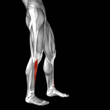 upper leg: Conceptual 3D human front upper leg muscle anatomy isolated on black background
