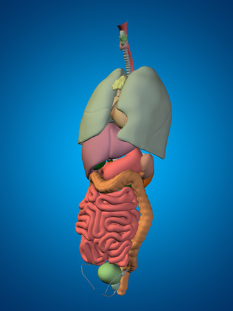 thorax: 3D human or man internal abdominal or thorax organs for anatomy or health designs on blue background