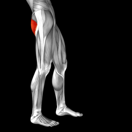 soleus: Conceptual 3D human front upper leg muscle anatomy isolated on black background