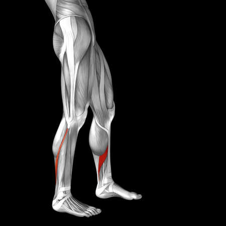 rectus: Conceptual 3D human front lower leg muscle anatomy isolated on black background Stock Photo