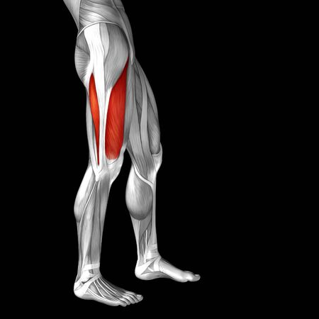 medical illustration: Conceptual 3D human front upper leg muscle anatomy isolated on black background