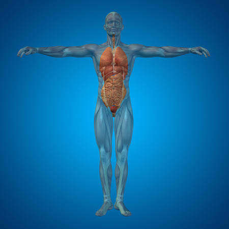 biological: Conceptual 3D man with internal organs, digestive, lungs and circulatory system on blue background Stock Photo