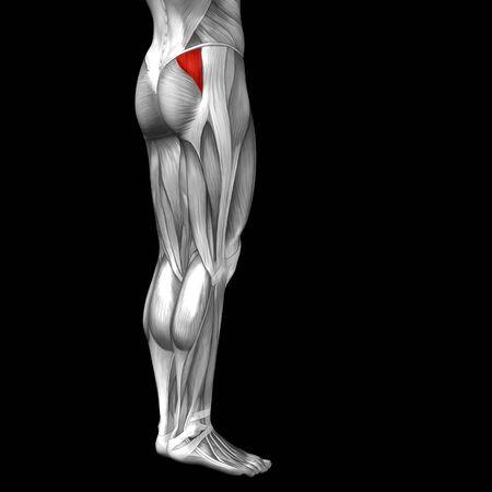 anatomia humana: Anatomía muscular conceptual 3D frontal humana pierna superior aislado en el fondo negro