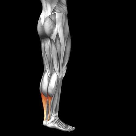 soleus: Conceptual 3D human front lower leg muscle anatomy isolated on black background Stock Photo