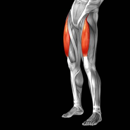 leg muscle: Conceptual 3D human front upper leg muscle anatomy isolated on black background