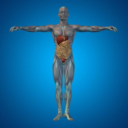 internal: Conceptual anatomical human or man 3D digestive system on blue background