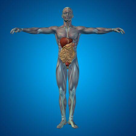 organi interni: Concettuale umano anatomica o uomo apparato digerente 3D su sfondo blu
