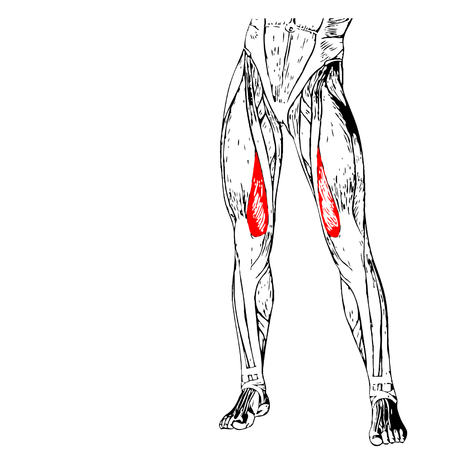 musculature: Concept 3D human upper leg anatomy or anatomical and muscle isolated on white background