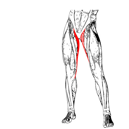 upper leg: Concept conceptual 3D adductor longus human upper leg anatomy, anatomical muscle isolated on white background Illustration