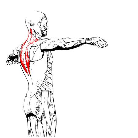 概念または概念の 3 D 人体解剖学をバックアップまたは解剖学的、白い背景で隔離の筋肉