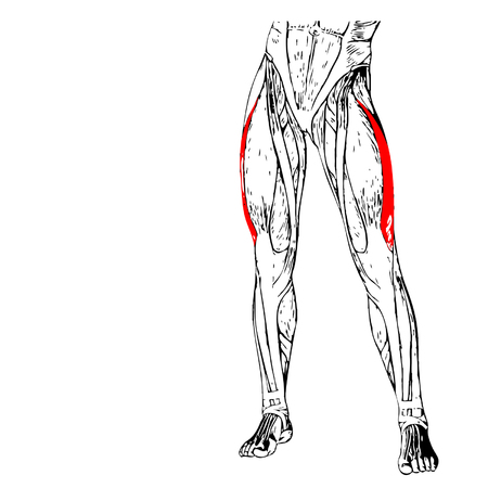 Concept 3D adductor longus human upper leg anatomy or anatomical muscle isolated on white background