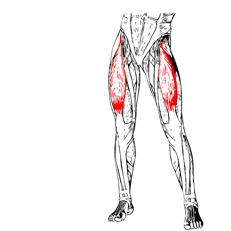 upper leg: Concept 3D human upper leg anatomy or anatomical and muscle isolated on white background