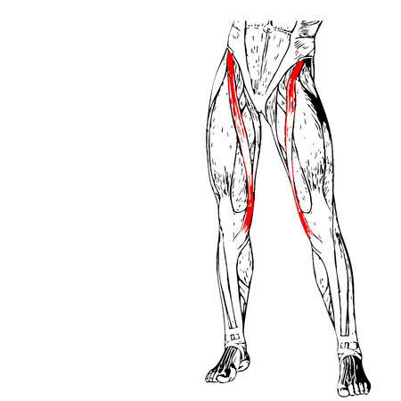 Concept conceptual 3D adductor longus human upper leg anatomy, anatomical muscle isolated on white background  イラスト・ベクター素材