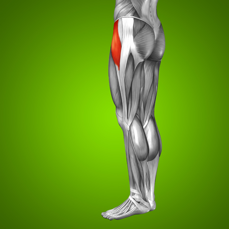 achilles tendon: Conceptual 3D human front upper leg muscle anatomy on green background