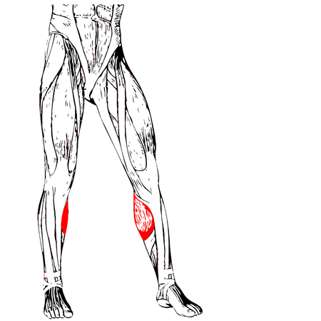 anatomical: Concept 3D human lower leg anatomy or anatomical and muscle isolated on white background Illustration