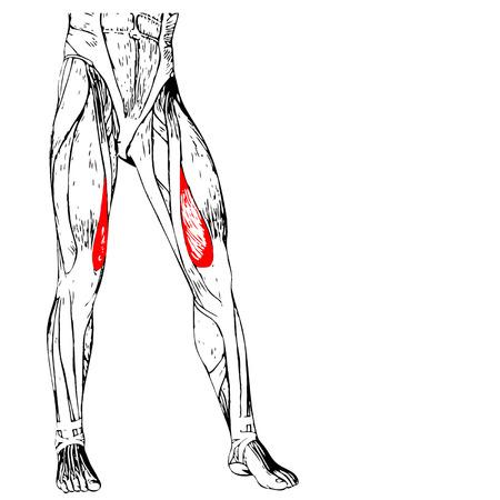 Concepto 3D Anatomía Humana Superior De La Pierna O Anatómica Y ...