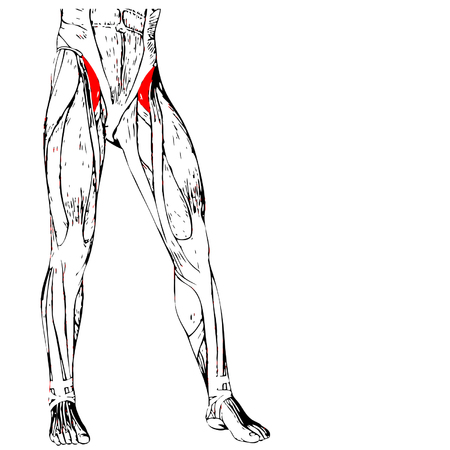 didactic: Concept conceptual 3D adductor longus human upper leg anatomy, anatomical muscle isolated on white background Illustration