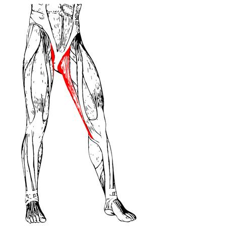 ścięgno: Koncepcja 3D przywodziciela longus ludzkiej anatomii górna noga, anatomiczne mięśni na białym tle