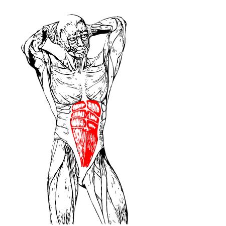 Concepto o conceptual pecho 3D anatomía humana o anatómica y músculo aislado en fondo blanco