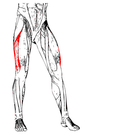 didactic: Concept 3D human upper leg anatomy or anatomical and muscle isolated on white background