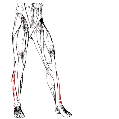 Conceptual 3D human front lower leg muscle anatomy isolated on white background