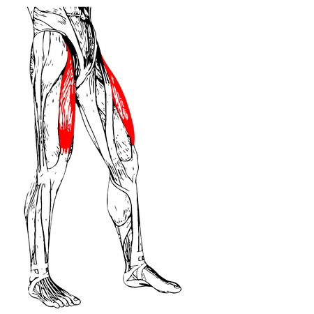 medical illustration: Conceptual 3D human front upper leg muscle anatomy isolated on white Illustration