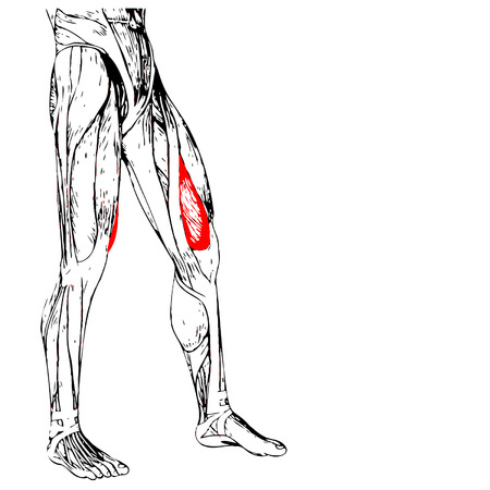 musculature: Conceptual 3D human front upper leg muscle anatomy isolated on white background